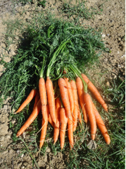 carotte4